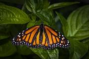 my_monarch_126_a