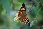bushfoot-painted-lady_214_b