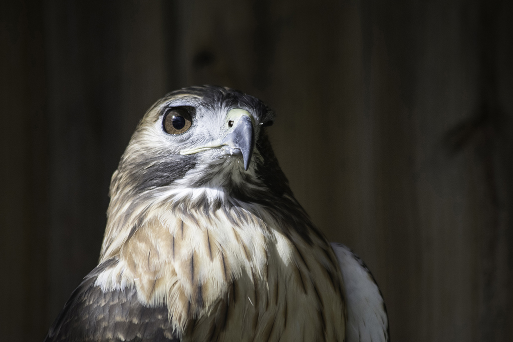 Confident_Red_Tail_Hawk