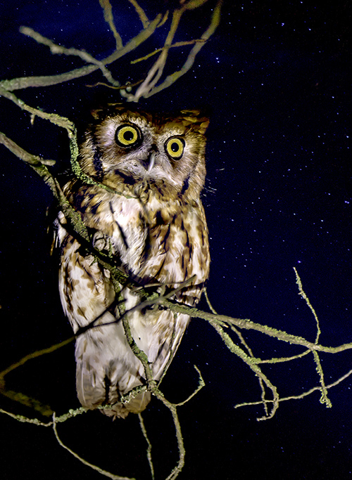flashlight_owl