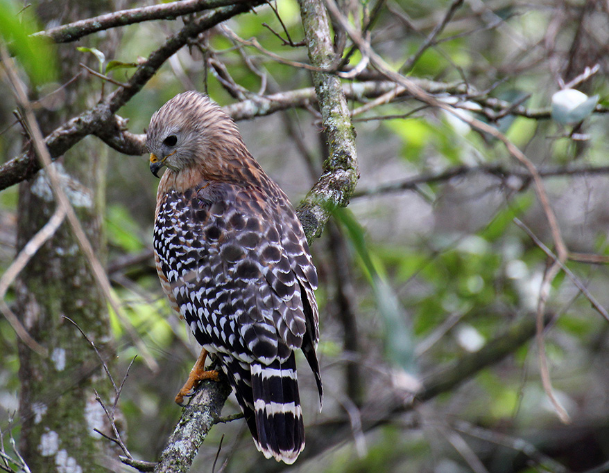 red_shouldered_hawk