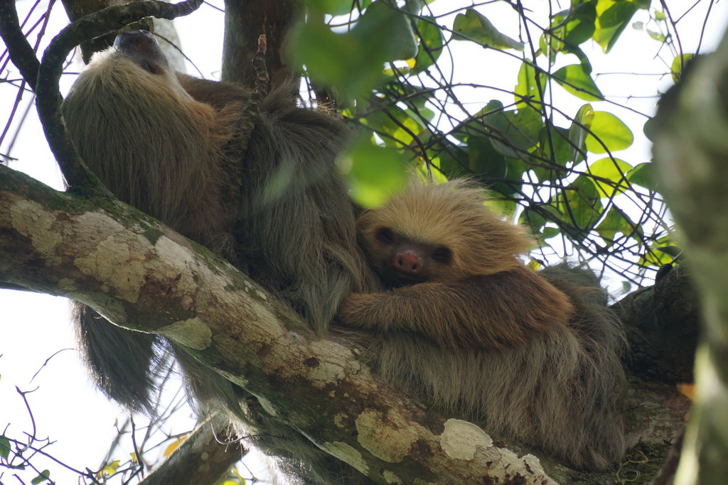 sloth_mother_and_child