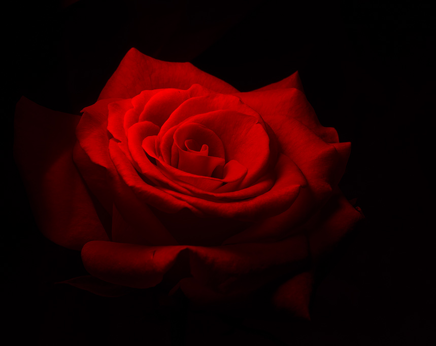 Light_painted_rose