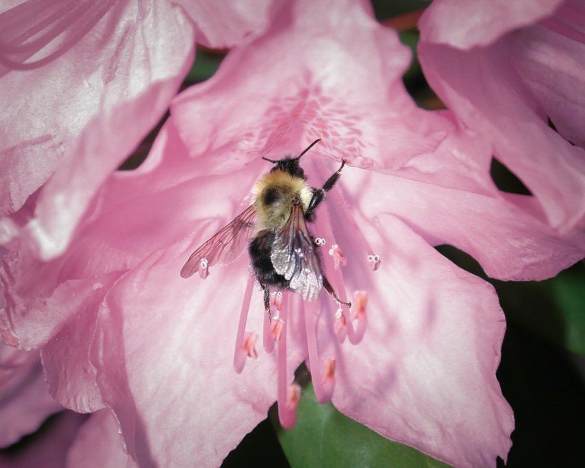 bee_on_ a_ rhody
