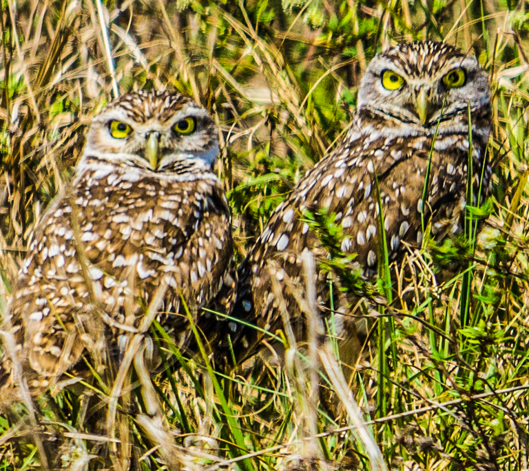 burrowing_owls