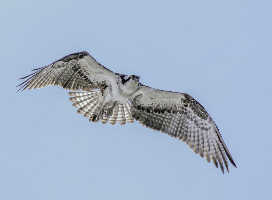 Osprey-in-Flight