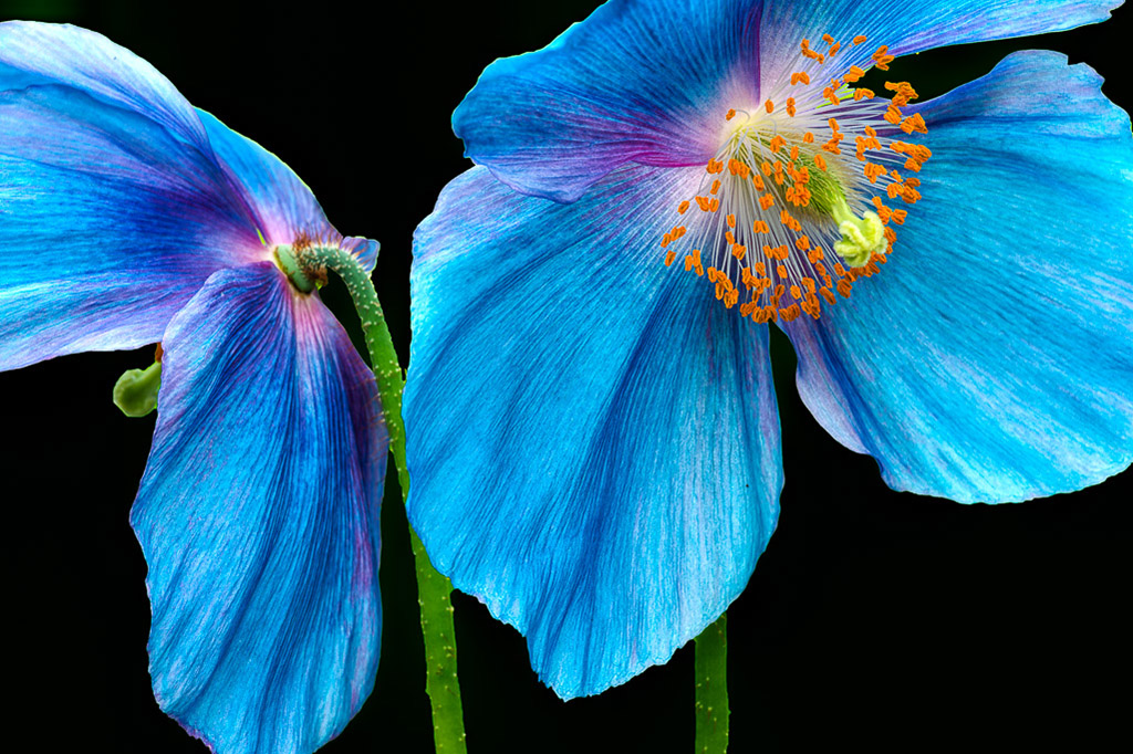 Blue_Poppy