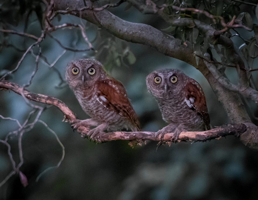 Screech Owl Babies