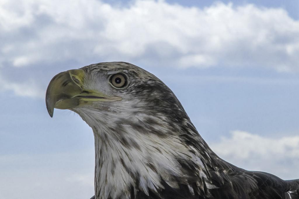 immature_bald_eagle