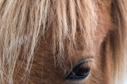 assateague_pony