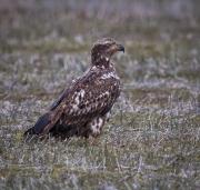 fledging_eagle