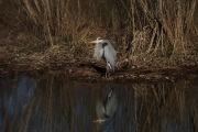 storm_water_great_blue_heron