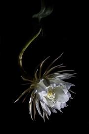 night_bloomer