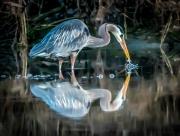 splashing_heron