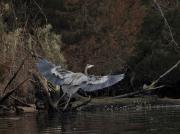 heron_evening_flight