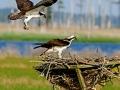 rogermaki_ospreys