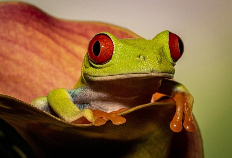 Red_Eyed_Tree_Frog_295_A.jpg-nggid043201-ngg0dyn-800x600-00f0w010c010r110f110r010t010