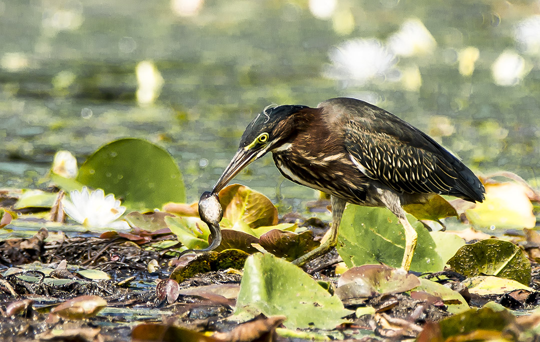 Green Heron at Lunch