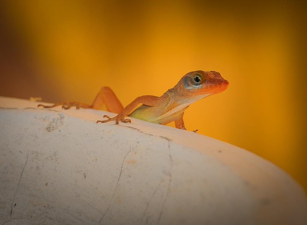 Lizard St Lucia