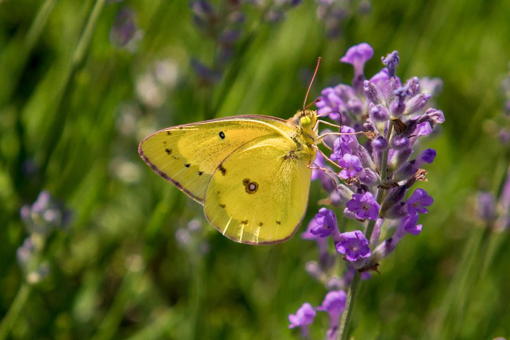 Tiny_Moth_on_Lavender