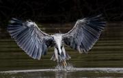 Feeding_Heron