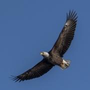 Gliding_bald_eagle