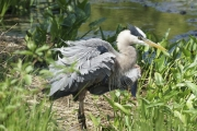 Great_blue_heron_after_bath