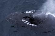 humpback_antarctica