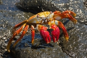 sally_lightfoot_crab