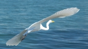 white_heron_in_flight