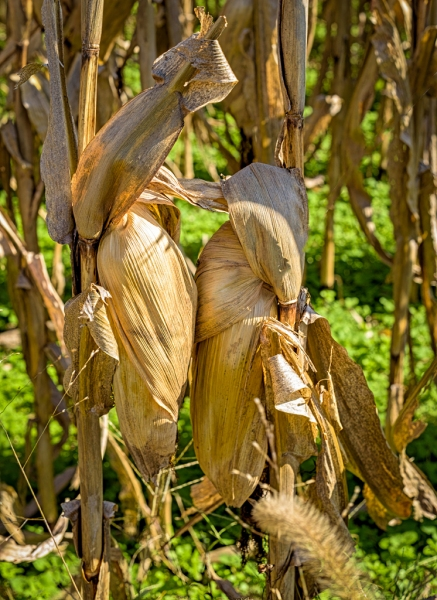 corn_after_season
