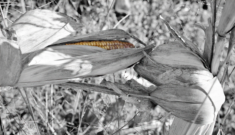 last_corn