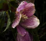 Rainsoaked_Hellebore