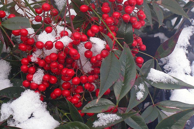 frozen_berries