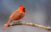 backyard_ Cardinal