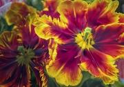 tulip_farm_beauties