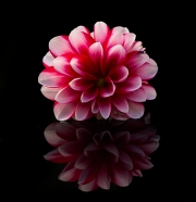 dahlia_reflection
