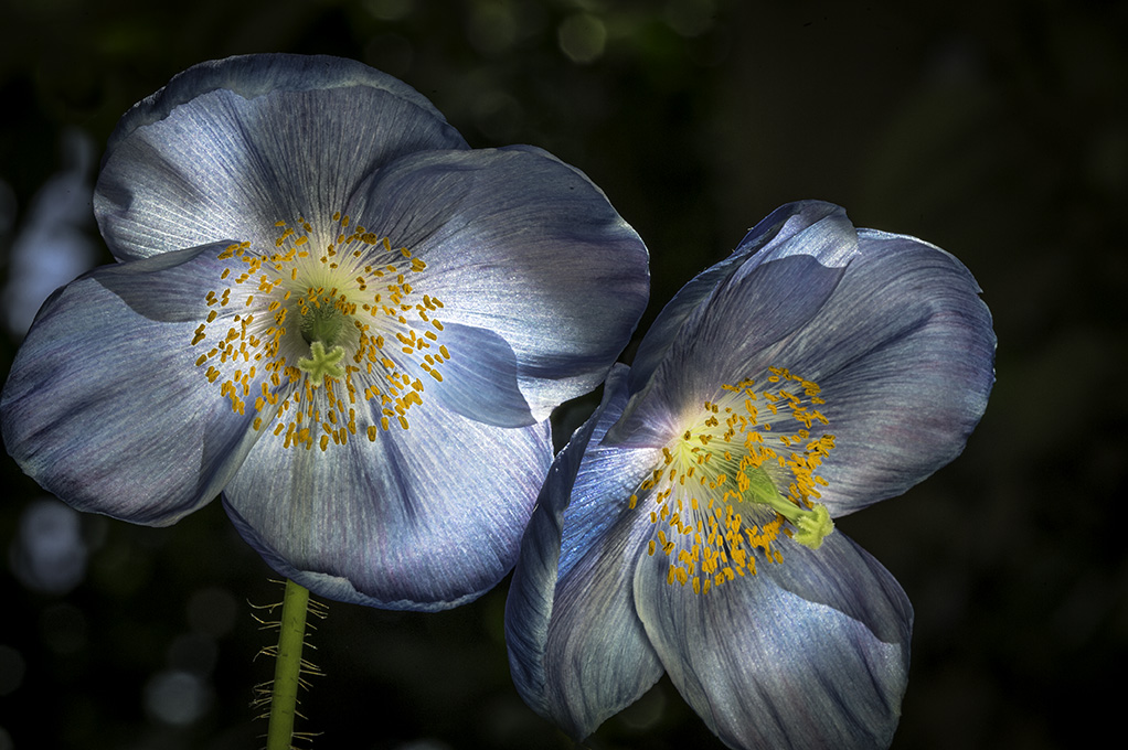 Blue_Poppies