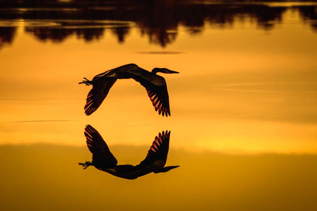 Heron_Over_Still_Water