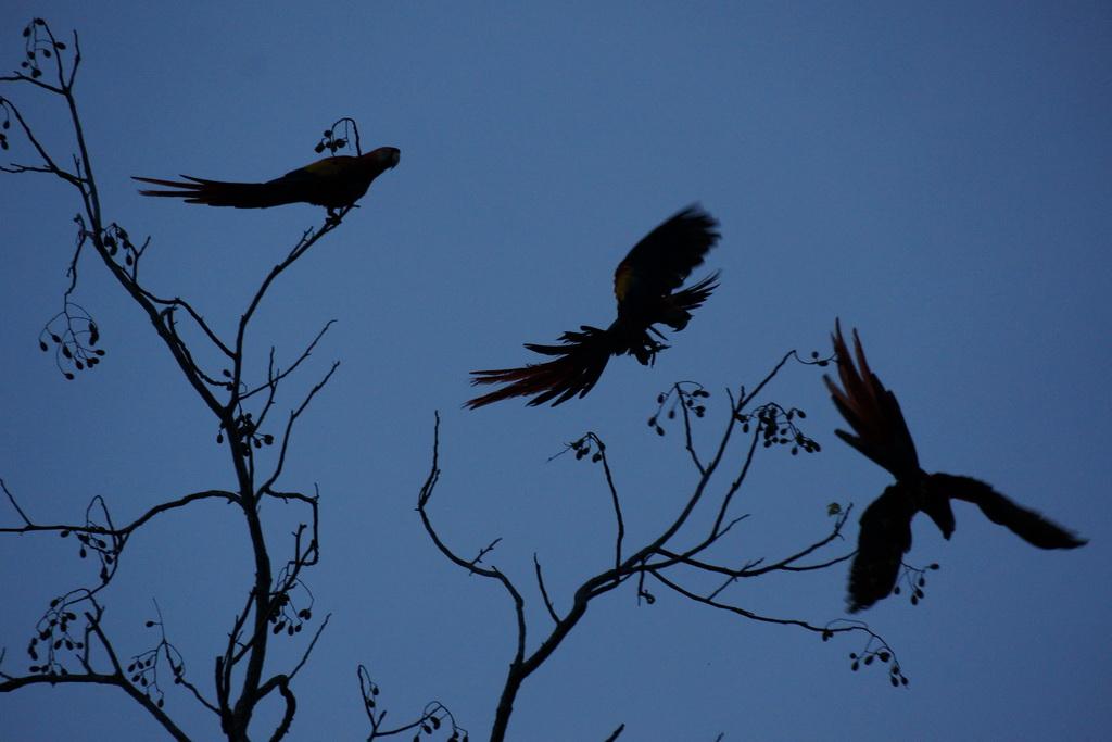 Scarlet_macaws_at_sunset
