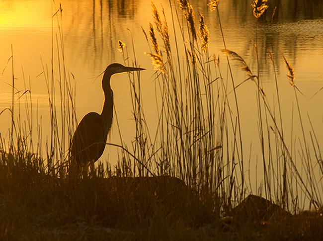 golden_heron