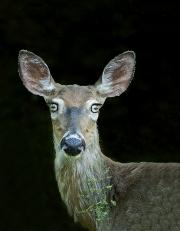 Blue eyed Deer