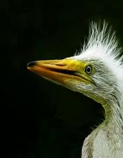 Egret Chick Number 5