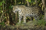 Jaguar_Brazil