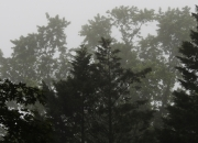 Arboreal_Fog