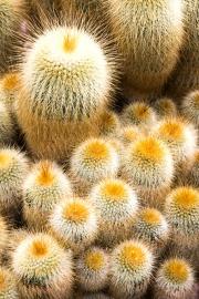 cactus_fuzz