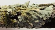 lacy_lichen