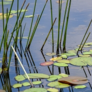 reeds_and_lily_pads