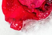 frozen-rose-close