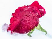 frozen-rose